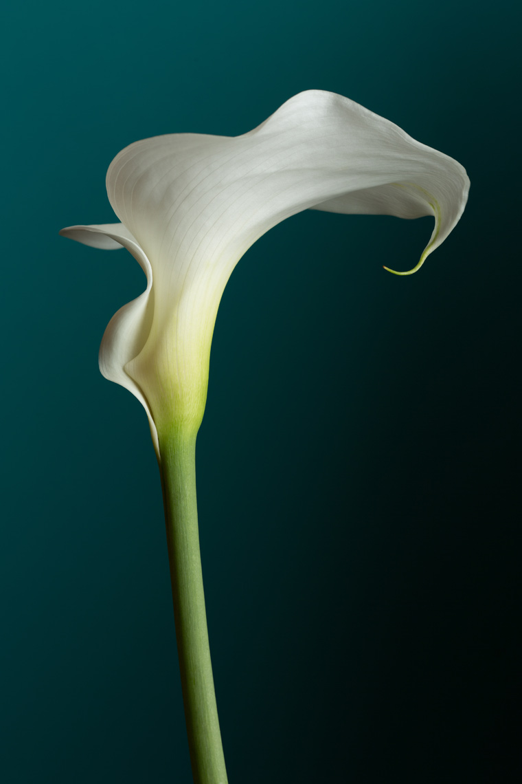 Cala_Lily_white_emerald_background