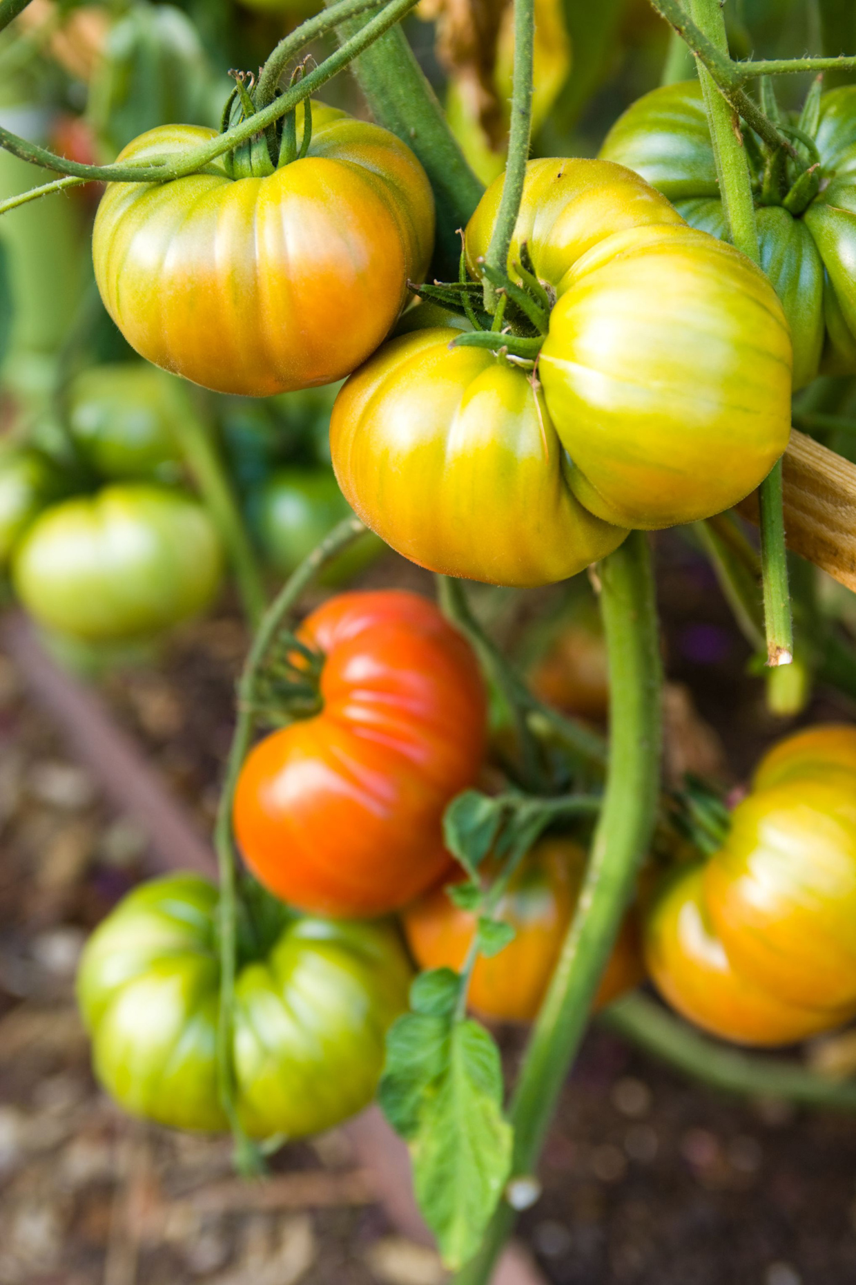 Heirloom_Tomatoes_1